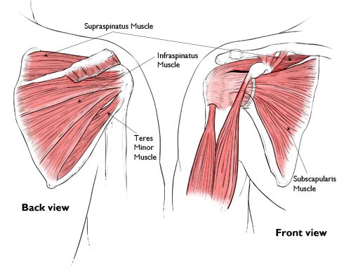 the musculotendinous cuff Rotator cuff definition is - a supporting and strengthening structure of the  shoulder  or across it to insert on the humerus — called also musculotendinous  cuff.