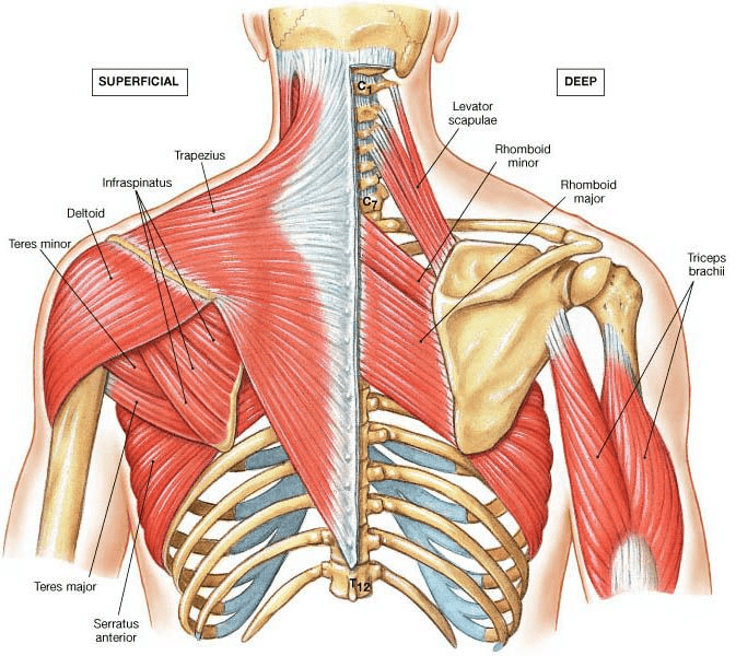 Shoulder and back muscles connected to the scapula.