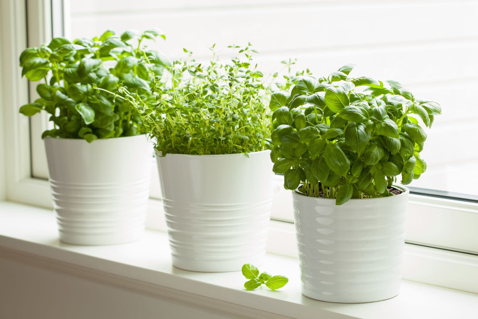 Indoor Window Sill Potted Basil and Thyme Herbs - Fesh Basil and Thyme Herbs Planted in Indoor Pots on Window Sill   https://physiologicnyc.com/integrative-medicine-wellness/