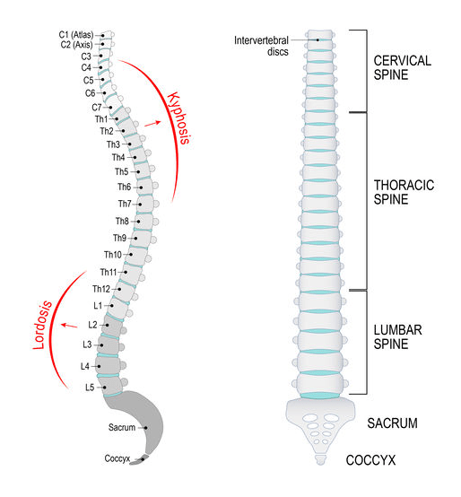 What causes back pain and how to prevent it. | Vertebral Column Diagram | Physio Logic, Brooklyn, NY